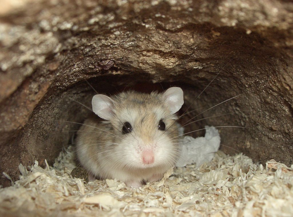 What is the average hamster lifespan? Cute hamster