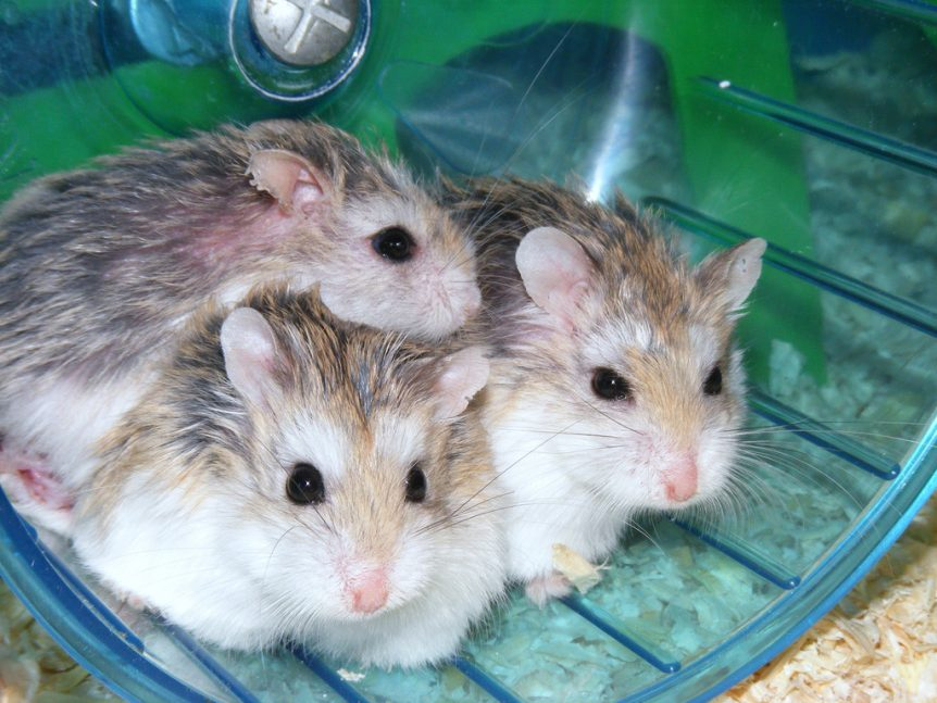 Cute dwarf hamsters on wheel