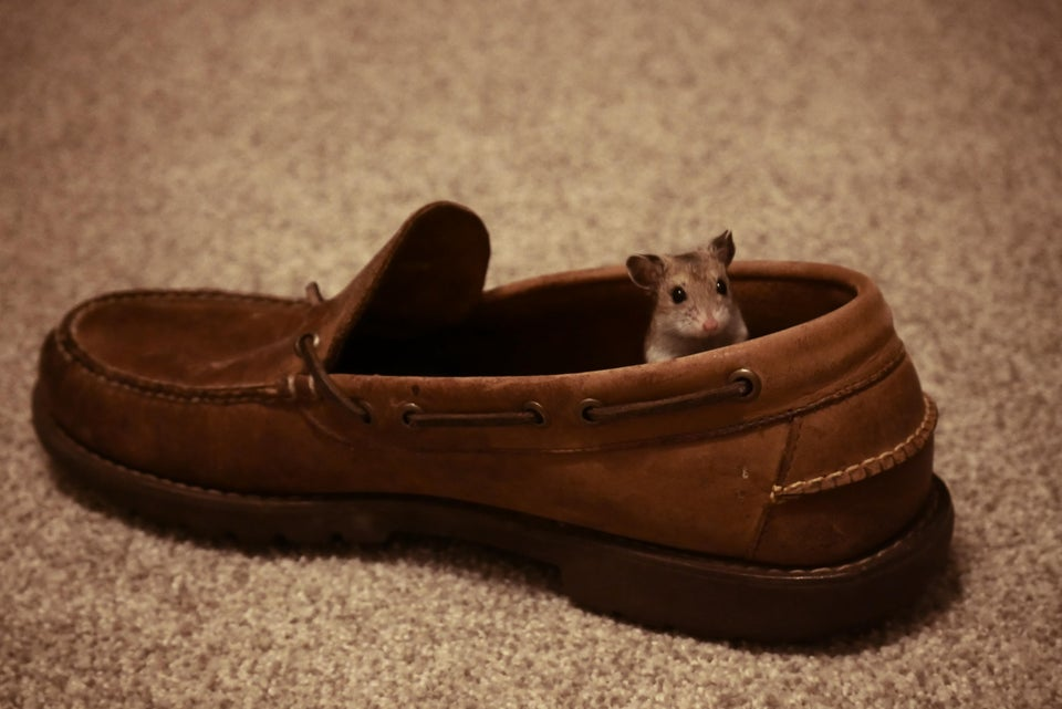 You shouldn't put your hamster in a shoe to live!