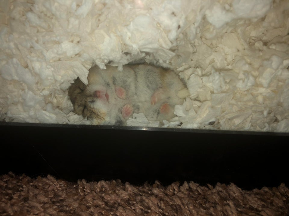 What do hamsters need in their cage? Lots of substrate to tunnel in