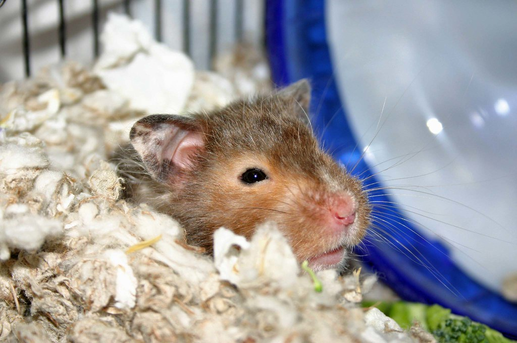 Can hamsters get colds. Yes, and they may want to cuddle in bed.