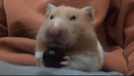 Can Hamsters Eat Grapes?