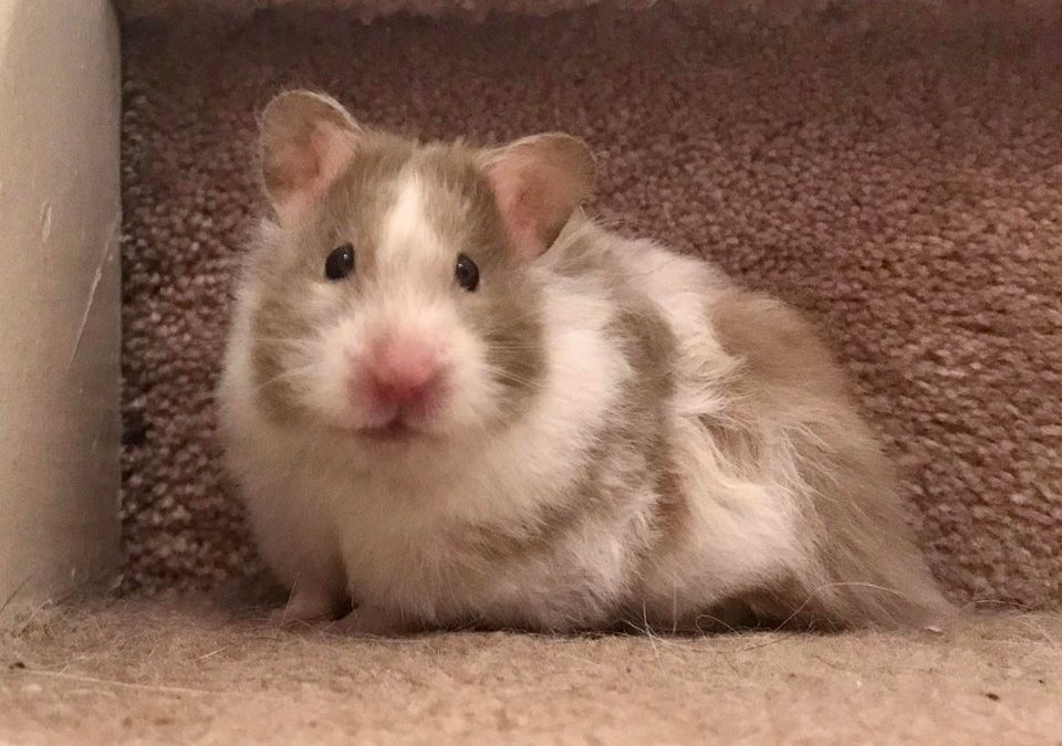 Can you dye your hamster's fur?