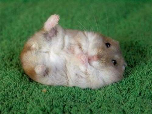 Do hamsters like belly rubs? This one looks like it does.