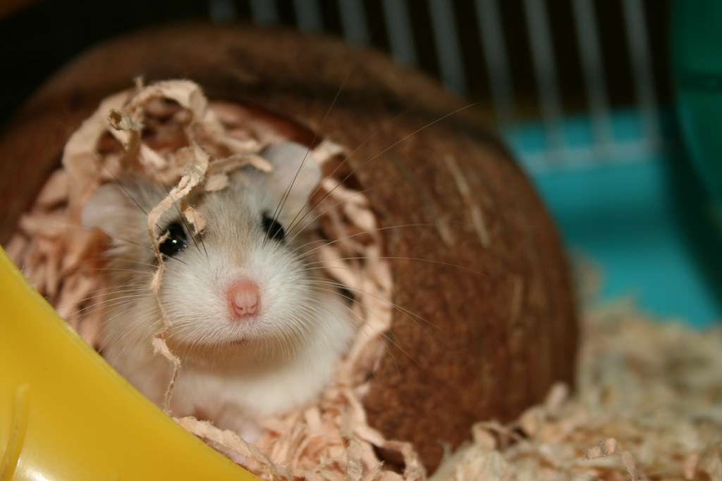 Can hamsters eat coconut? This one is living in one!