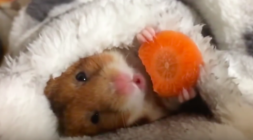 A hamster eating a delicious carrot.
