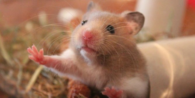 What do hamsters need in their cage?