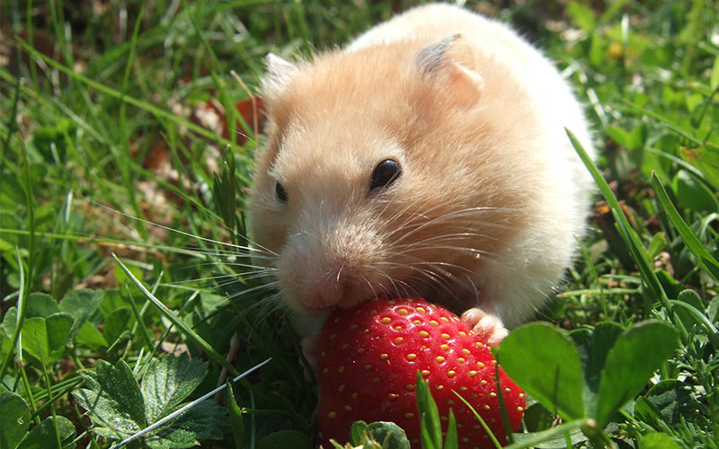 Hamster eating a strawberry.