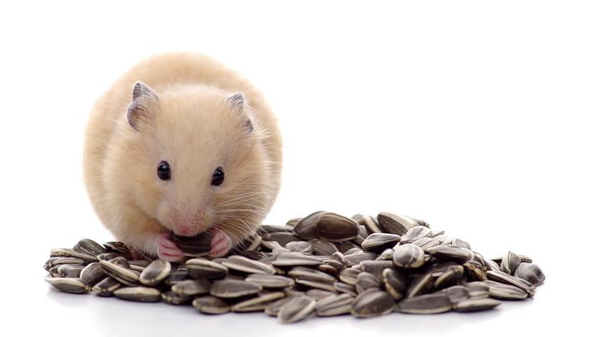 can hamsters eat sunflower seeds? This asnd this one loves them!