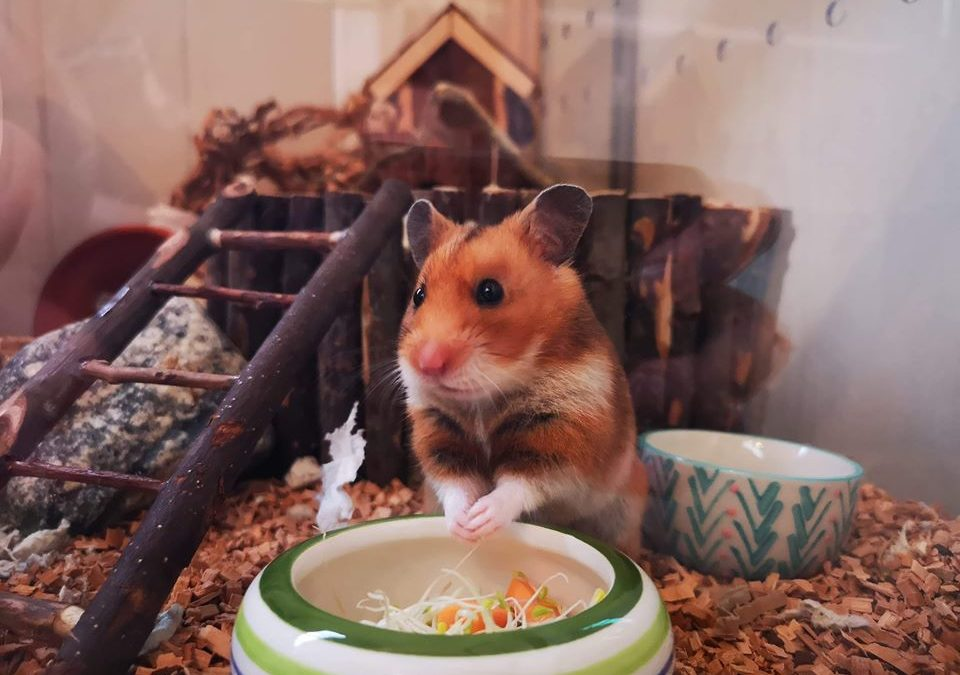 Can hamsters catch fleas?