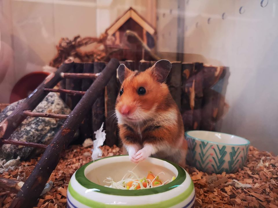 Hamster having a salad.