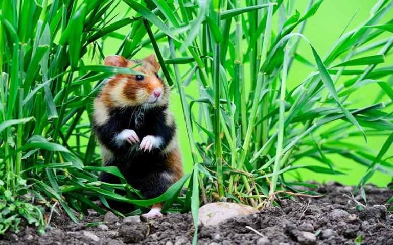 Wild hamsters don't usually allow pecans!