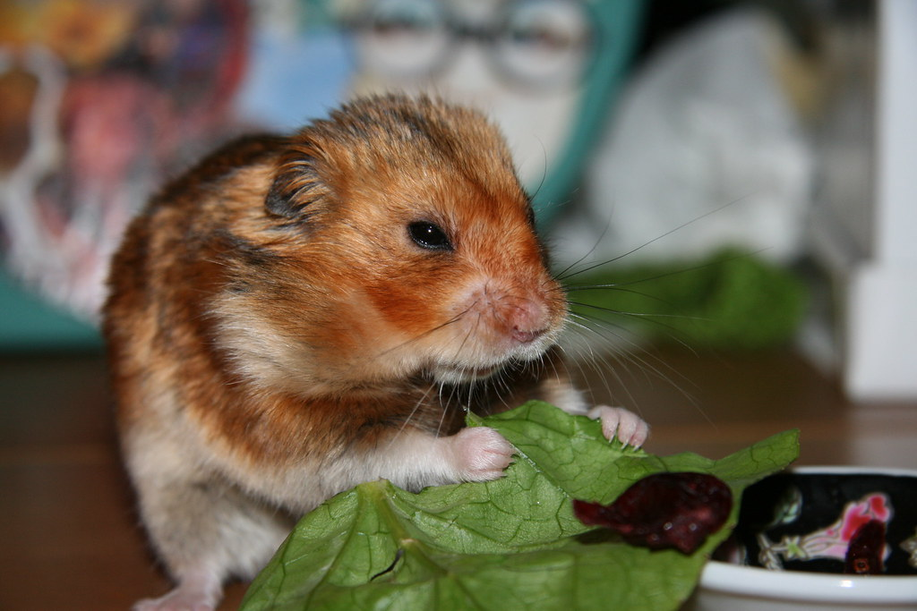 Can Hamsters Eat Celery? They love greens!