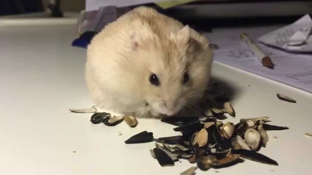 Can Hamsters Eat Sunflower Seeds. This one is having a lot!