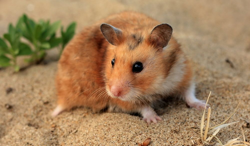Can Hamsters Eat Sesame seeds? Yep!
