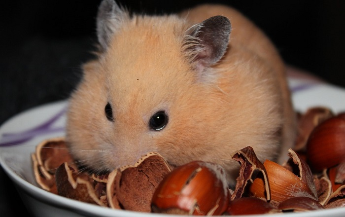 A hamster eating lots of nuts.