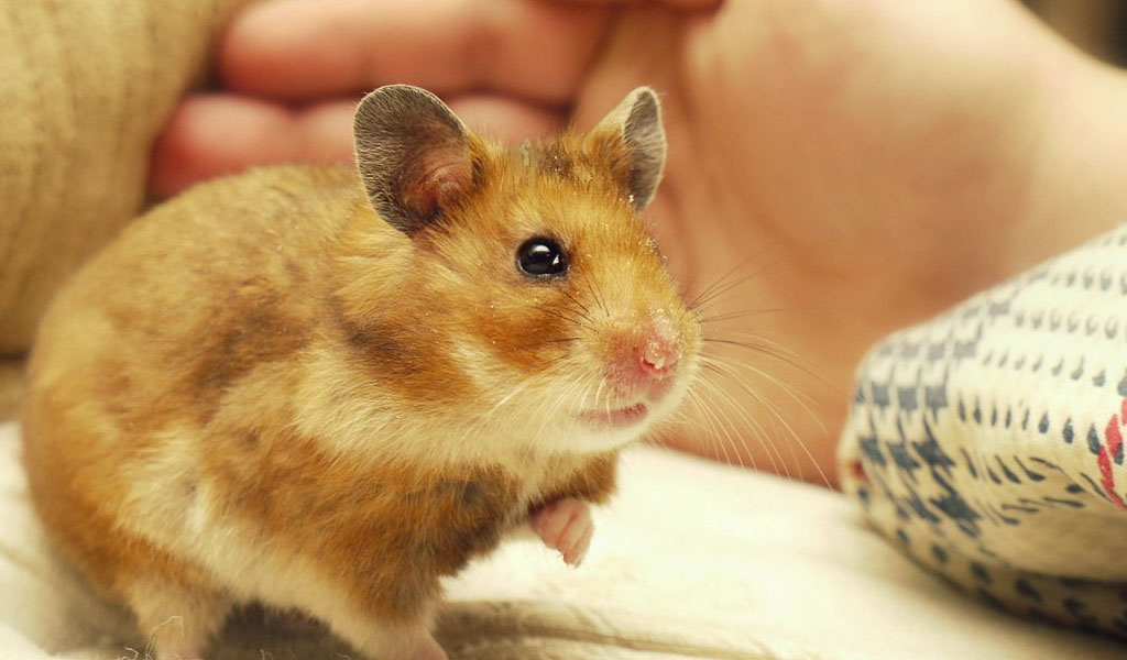 Can Hamsters Eat Pork?