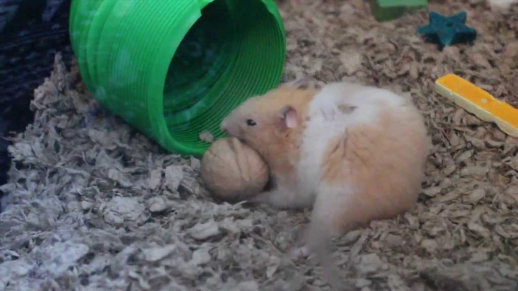 A hamster eating a walnut