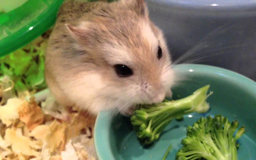 Can Hamsters Eat Broccoli