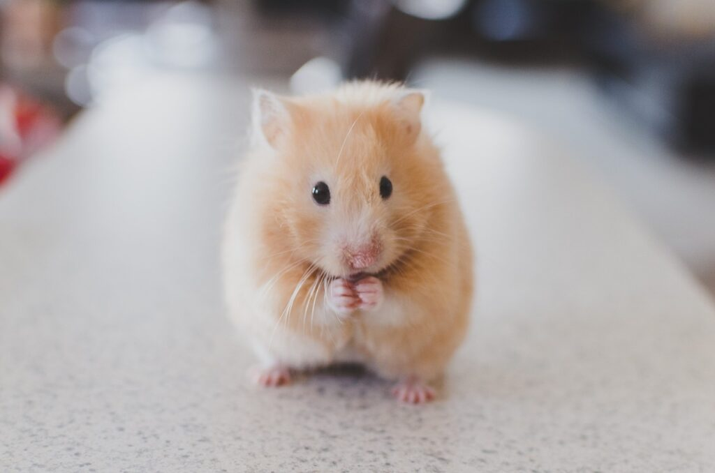 This hamster is cleaning itself!
