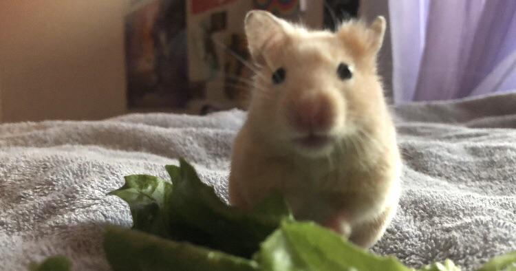 Can Hamsters Eat Clover?