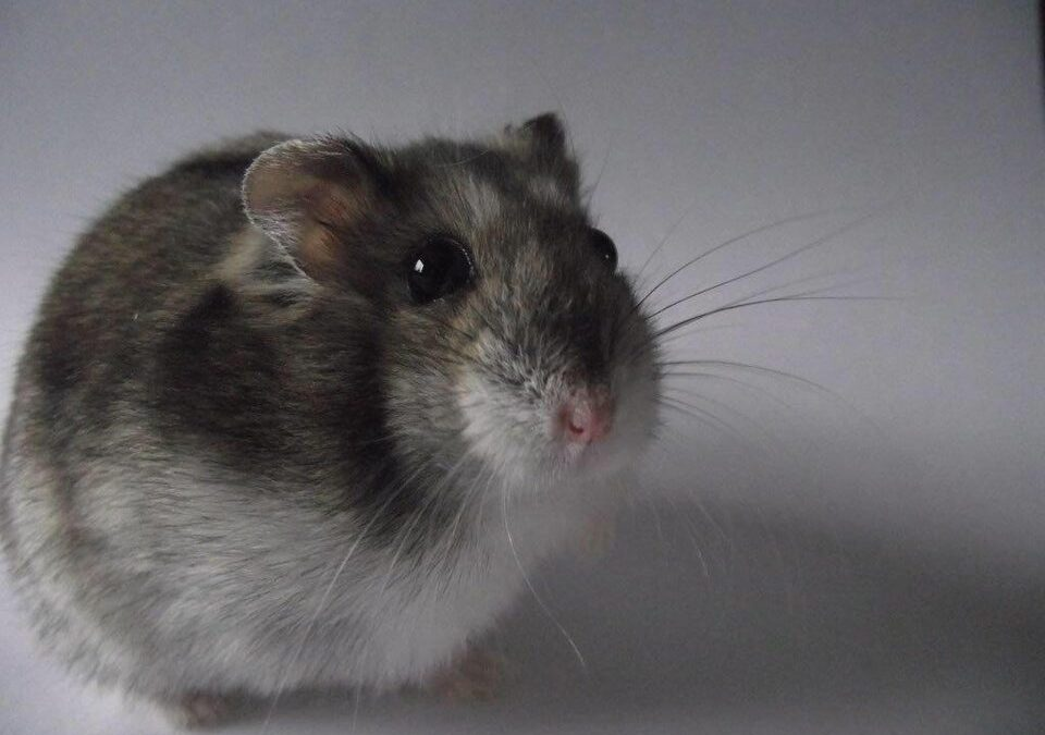 Why do Hamsters Smell? How you can prevent it.