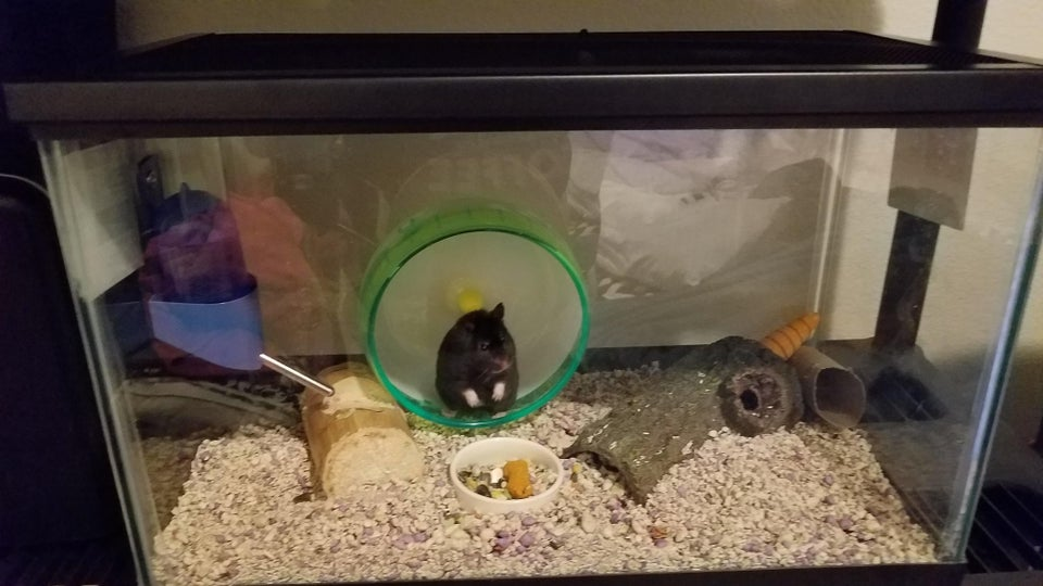 What a lovely black hamster!