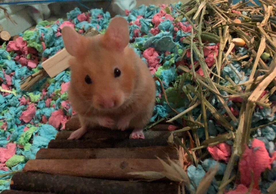Can Hamsters Eat Brussel Sprouts?