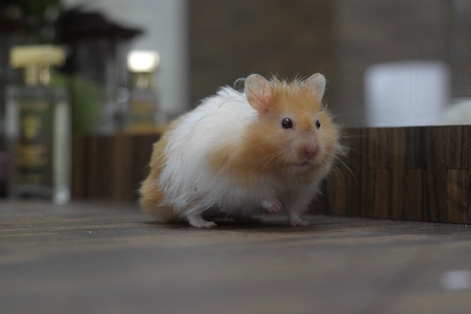 A lovely long-haired hamster!
