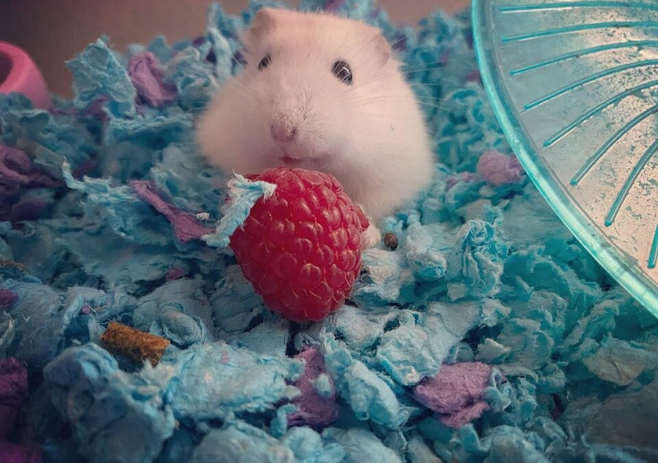 Can Hamsters Eat Cheetos?