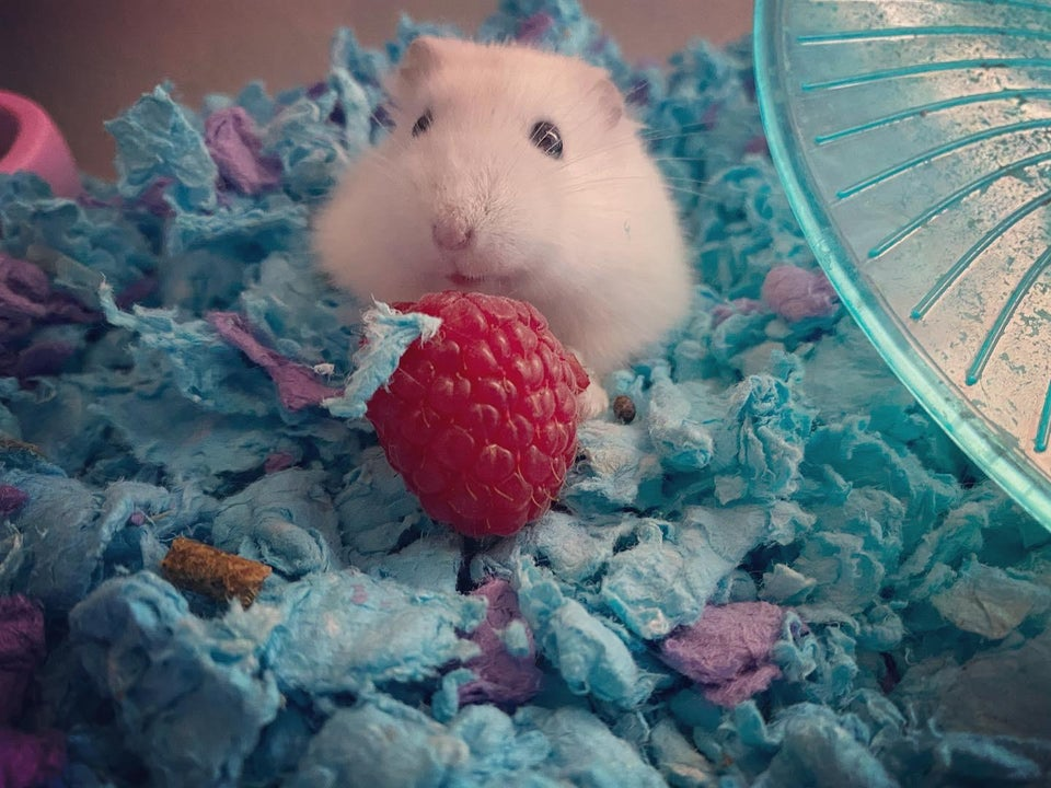 What a cute white hamster!