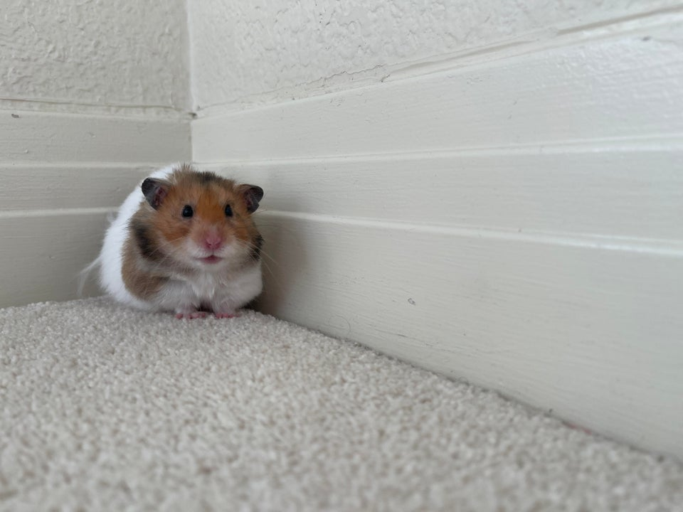 What a lovely, cute, hamster!