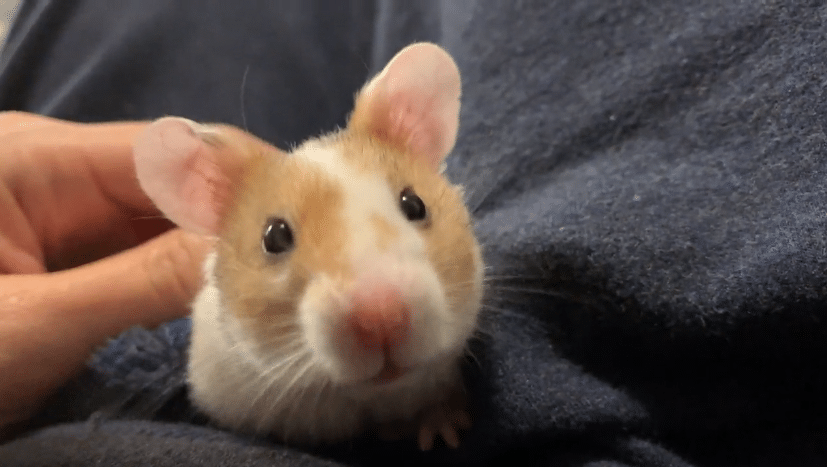 What is an average hamster's lifespan?